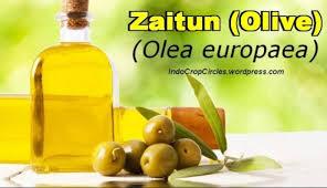 Minyak Zaitun Untuk Rambut Di Alfamart daftar harga minyak zaitun dan manfaat info pasar
