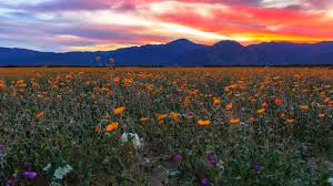 anza borrego super bloom anza borrego desert state park wildflowers super bloom 2017 time
