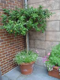 potted trees that will beautify your outdoors