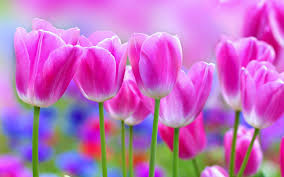 collected 10 beautiful tulips wallpapers for you geegle news
