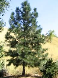 ponderosa pine montana official state trees