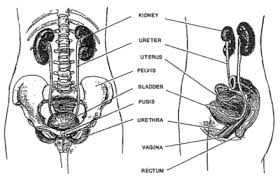 Urinary Bladder Anatomy And Physiology Precision Urodynamics Full Service Diagnostic Urodynamic Testing
