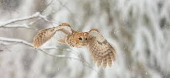 The Owl Barn Gift Collection Wing Feathers Enable Near Silent Flight Owls Asknature