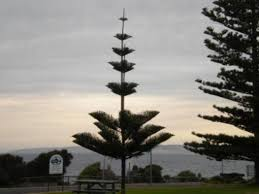 a cool looking coastal pine tree picture of kangaroo island