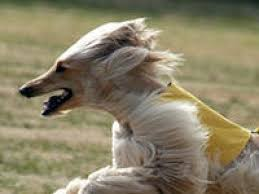 does an afghan hound shed afghan hound dogs afghan hound dog breed info u0026 pictures petmd