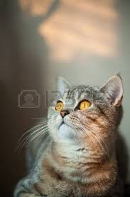 Cat Laying On Glass Table British Shorthair Stock Photos U0026 Pictures Royalty Free British