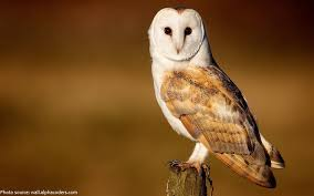 Barn Owl Sounds Interesting Facts About Barn Owls Just Fun Facts