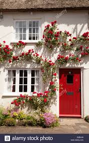 red climbing rose in flower on a white cottage house burton stock