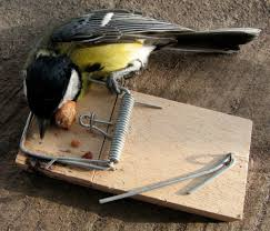 check that your mousetraps are u0027bird friendly u0027 this spring