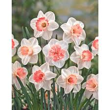 shop garden state bulb 12 pack pink blend daffodil bulbs at lowes