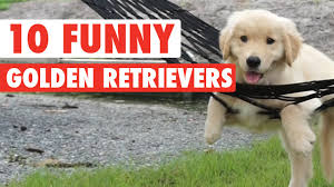 Golden Retriever Meme - 10 funny golden retriever videos awesome golden retriever