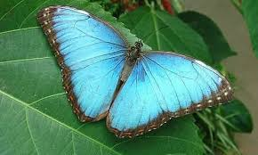 morpho butterfly key facts information habitat