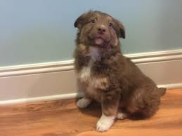 owning a australian shepherd view ad australian shepherd puppy for sale michigan allendale usa