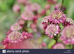 Angebote F K Hen Red Flowers Garden Plant Astrantia Stockfotos U0026 Red Flowers Garden