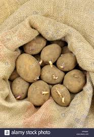 seed potatoes in a hessian sack ready for spring planting