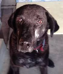 12 answers 800 reasonable price black labrador puppy