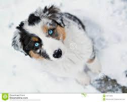 pictures of australian shepherds australian shepherd snow stock photos images u0026 pictures 575 images