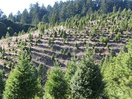 the history of the christmas tree farm and where to find the
