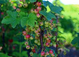 free images tree branch berry leaf flower bush food