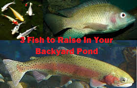 3 fish to raise in your backyard fish pond worldwide aquaculture