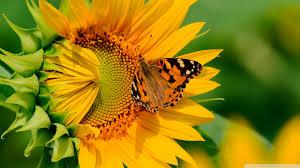 butterfly on sunflower hd desktop wallpaper for 4k ultra hd tv