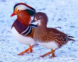 ducks mandarin wood mallard runner ruddy and domestic