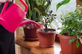 how much to water houseplants expert trick for keeping plants
