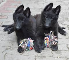 belgian sheepdog groenendael breeder untitled document