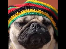 Reggae Meme - doug the pug goes reggae humor memes com