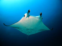 rasdhoo atoll divers u2013 maldives dive sites