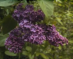 Fragrant Flowers 10 Fragrant Flowers You Should Know First Come Flowers