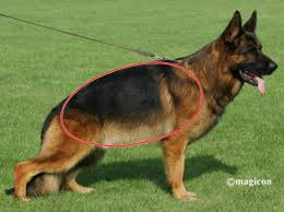 Light Sable German Shepherd General Overview Of The German Shepherd Dog The German Shepherd Dog