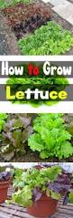 best 25 growing lettuce ideas on pinterest easy garden lettuce