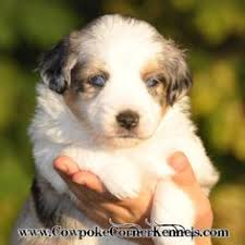 australian shepherd and poodle toy australian shepherd poodle dogs puppies for sale miniature