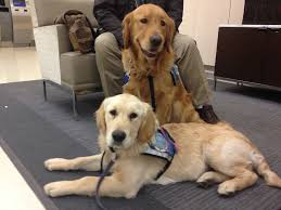 Comfort Retrievers Therapy Dogs Arrive In Boston To Comfort Survivors Of Marathon
