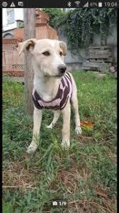 australian shepherd 1 jahr kaufen hunde in neu ulm kaufen und verkaufen bei quoka de