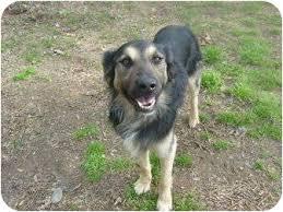 australian shepherd weiner dog mix keefe adopted dog eden nc australian shepherd german