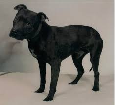 american pitbull terrier kingfish bloodline best looking gr ch page 13 game dog forum