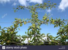 espaliered trained pear tree trained on wire trellis in an english