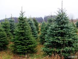 live christmas trees boy scouts now selling christmas trees in westhaven franklin home page