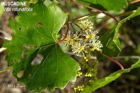 florida native plant society muscadine grape vitis rotundifolia plants