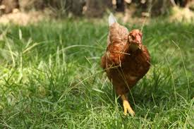 pros and cons of raising backyard chickens grange co op