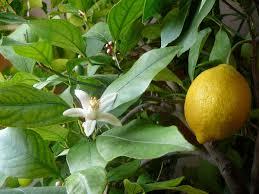 What Is Orange Flower Water - lemon wikipedia