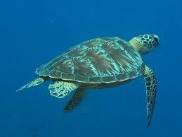 marine turtles characteristics key to the 7 marine species