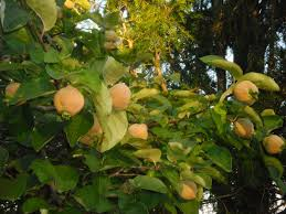 Fruit Tree Identification - can anyone identify this tree fruit english forum switzerland