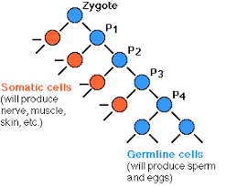 How Many Chromosomes Does A Somatic Cell Have Germline Vs Soma