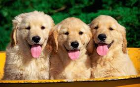 puppy thanksgiving golden retriever puppy and kitten wallpaper download wallpaper