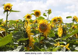 black sunflower field uk stock photo royalty free image 9904433