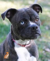 boxer dog rescue view ad boston terrier boxer mix dog for adoption virginia