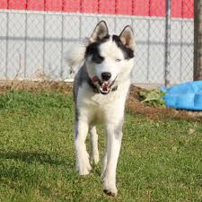 belgian sheepdog rescue illinois sycamore il siberian husky meet daredevil a dog for adoption